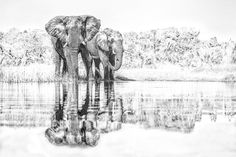 The quintessential African image. Bull elephants drinkingfrom the mirrored waters of the Okavango delta in Botswana