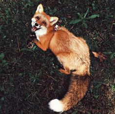 Red Fox - Facts,Habitat,Pictures and Other Information Cute Funny Animals, Cute Baby Animals, Animals And Pets, Wild Animals, Red Fox Facts, Beautiful Creatures, Animals Beautiful, Pet Wolf, Pet Lion