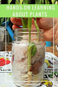 Hands-on Learning About Plants Preschool Home Schooling Activity Montessori Botany Activities Plant Life Cycle Seed Germination Montessori Science, Montessori Homeschool, Montessori Classroom, Science Classroom, Montessori Elementary, Outdoor Classroom, Montessori Toddler, Science For Kids, Life Science