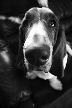 love basset hounds : Photo