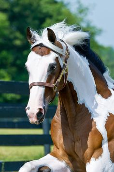 Paint Horse.....power and beauty