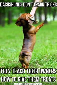 Dachshund  I thought I was a good dog trainer