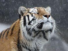Beautiful Tiger enjoying the snow falling - taken at the Detroit Zoo in Royal Oak, Michigan ...