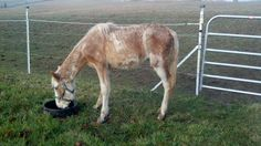 It didn't look hopeful for this filly. She was severely malnourished. Not only was there concern for her digestive system to function properly but her legs weren't straight due to lack of nutrients needed for normal development. Despite that, no one gave up.