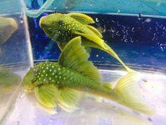Green Phantom Pleco Live Freshwater Fish   eBay
