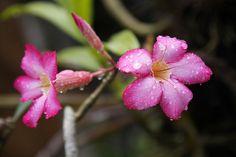 Adenium Flowers at Warsa Bungalows, Ubud, Bali ♥♥♥