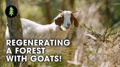 How Goats are Regenerating a Forest and Protecting this Town from Bushfire - YouTube Farm With Animals, Tree Watch, Water Plumbing, Farm Gardens, Permaculture, Livestock, Ecology, Small Groups, Climate Change