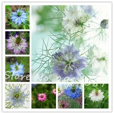 New arrive!Flower seeds 50 seeds Gorgeous Persian Jewels Mix Love in a Mist Seeds Easy to grow DIY Home Garden