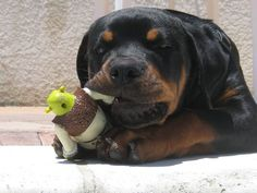 As soon as we get a house I can finally have the breed of dog I've always wanted. Love the German Rottweilers!