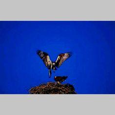 A mother Osprey, Shaver Lake, CA