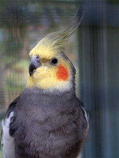 The cockatiel has a sharply bent beak, which is perfectly designed for eating seeds and berries. Description from answersingenesis.org. I searched for this on bing.com/images