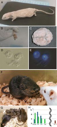 Production of healthy cloned mice from bodies frozen at −20°C for 16 years
