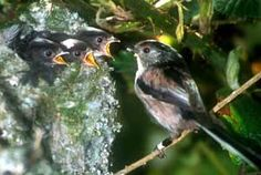 Long-tailed Tits, copyright Andrew MacColl