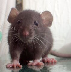 The domestic rat is a descendant of the wild brown rat (Rattus norvegicus) and has been bred as a pet for about a hundred years. Pet rats are much less fearful than their wild cousins, and when handled gently, they quickly learn to enjoy riding on their human friends' shoulders and napping in their laps.