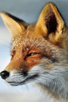 Red Fox by Foto Foosa on 500px