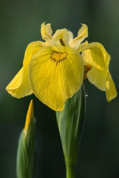 Flor de Iris Color Amarillo