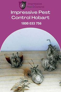 Impressive Pest Control Hobart is a trustworthy and worthy company which provides pest control services in commercial and residential premises. Our team of Pest control Hobart gives the services of a high standard as they are professionals and experienced. Pest Control Services, High Standards, Brisbane