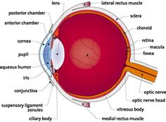 35 best Eye Anatomy images on Pinterest | Eye anatomy, Human eye and ...
