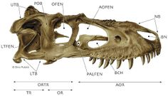 Tyrannosauroidea central: Osteology I: Craniofacial frame and openings in lateral view // Composite skull of a subadult Albertosaurus libratus in right lateral view with the major openings and struts labeled, © Dino Pulerà. Abbreviations ; see website