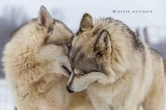 'The Love between Wolf Companions is a beautiful thing. Beautiful Wolves, Beautiful Dogs, Animals Beautiful, Wolves In Love, Animals And Pets, Baby Animals, Funny Animals, Cute Animals, Wolf Photos