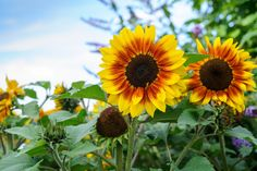 Sunflowers are easy and fun to grow from seed - start yours off now.