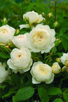 Claire Austin Rose, Rosas David Austin, David Austin Rosen, David Austin Climbing Roses, White Climbing Roses, Fragrant Roses, Shrub Roses, White Roses, White Flowers