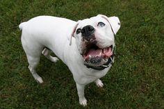 boxer dog photo   Ole Blue Eye - boxer white dog puppy whiteboxer pet animal dogs boxers ...