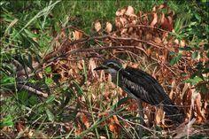 Bush Curlew ( Lou )