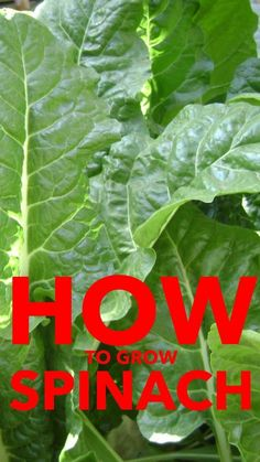 Want to grow spinach in your vegetable garden this year? Here are some great ideas for successfully growing a spinach crop.