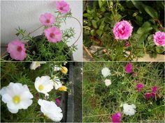 Nine O'clock Flower - Time Flower l- Portulaca_ Grandiflora