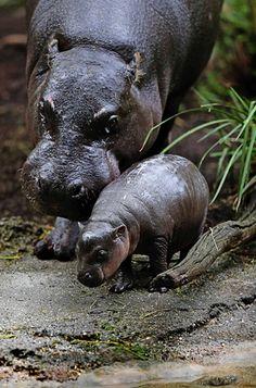 Âgé de trois semaines, le jeune hippopotame nain Obi a pu se lancer, la semaine dernière, dans son premier bain. Accompagné de sa mère Petre, attentive au comportement de son petit dans l'eau. La naissance de cet animal est la première pour le zoo de Melbourne, en Australie, depuis 1981. Chaque jour, le petit prend environ 500 grammes, signe d'une bonne santé selon les soigneurs.