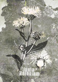 InulaHelenium #ghostdogg #streetart #medizinalpflanze