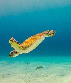 Op Curacao kun je zwemmen met zeeschildpadden!