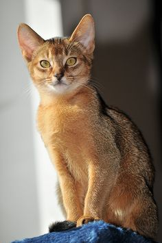 Abyssinian....love love love these cats