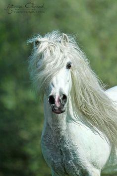 Welsh pony stallion, Folkert