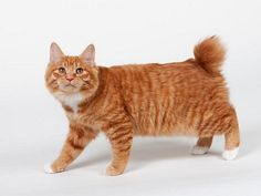 American Bobtail is a domestic cat breed.They are uncommon and famous for their short tail.American Bobtail is very affectionate,playful and energetic cat.