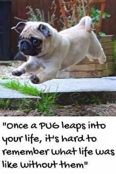 Pug's are a special breed.   So very true..