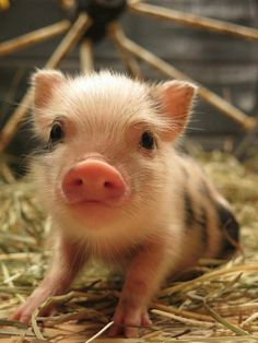 Cute Little Piglet on the Farm