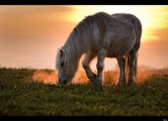 A pony grazes in a meadow at sunset on November 21, 2011 in Lausanne, Western Switzerland.