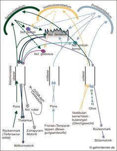 Kleinhirn, Cerebellum, Afferenzen, Efferenzen