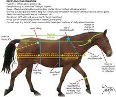 dressage horse conformation