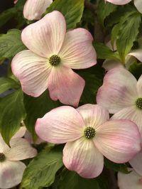Flowering Dogwood Stellar Pink - Cornus x Stellar Pink Shade-loving, slow growing.  Maybe for outside the N window in the study?
