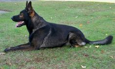 DDR black sable german shepherd http://www.vtgsd.com/