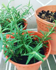 Rosemary is not only an awesome addition to our food, but also has baffling health benefits! Read how to plant Rosemary and why you must! Garden Compost, Herb Garden, Indoor Garden, Garden Plants, Herb Plants, Grow Rosemary, Rosemary Plant, Fertilizer For Plants, Healing Herbs