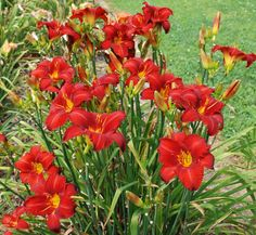 Chicago Apache Daylilies planted front house garden 2011.
