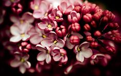 lilacs will always have a special place in my heart...