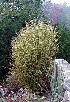 'Gold Bar' miscanthus (Miscanthus 'Gold Bar')