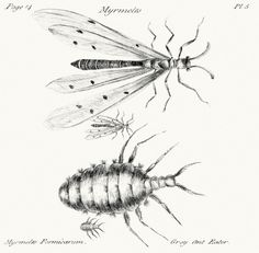 Myrmeleon formicarius (?) From A decade of curious insects, by John Hill, London, 1773. (Source: archive.org)