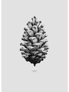 Grey Pine Cone Print : The Pine Cone Print Grey is part of a collection of prints that depict some extreme objects of nature, this particular print is a beautiful ball point drawing of the worlds largest found Pine Cone printed onto light grey, 200g uncoated Munken Lynx paper (archival quality, FSC certified).