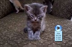 This kitten just wants to sleep while its siblings play!  http://www.catvideooftheweek.com/videos/view/73  #cvotw
